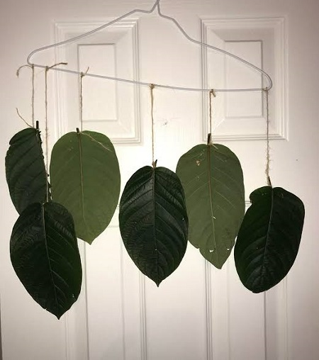 Kratom Drying leaf